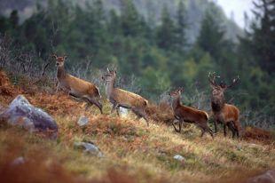 Cerfs rouges Kerry, Irlande