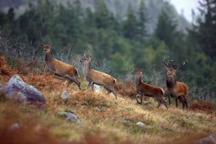 Cerfs rouges Kerry, Irlande