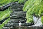 Macareux sur les escaliers de Skellig Michael, Kerry © storytravelers